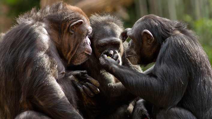 chimpanzees talk it over in committee