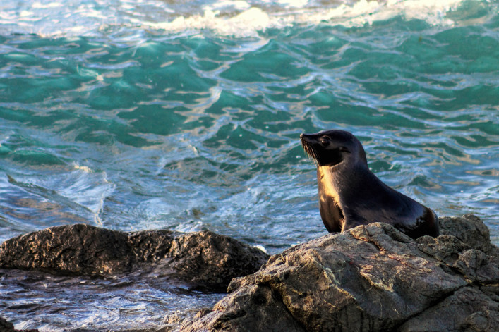 Fur Seal, Cape Palliser, New Zealand