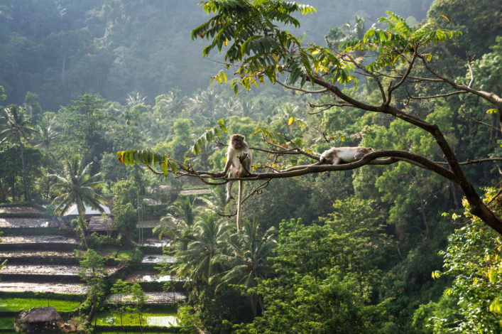 macaque (Macaca fascicularis) in rainforest sitting on tree in S