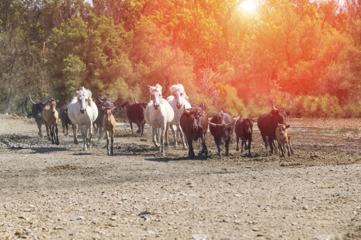 Galloping white horses and bulls iStock_000073389145_Large