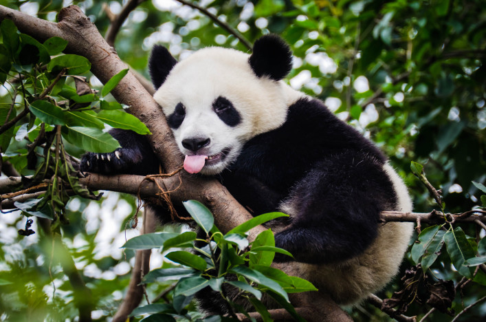 Panda with Tongue Out iStock_000018810497_Large-2