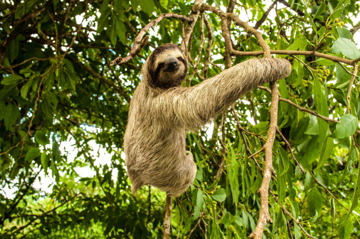 Three-toed Sloth iStock_000010581285_Large-2