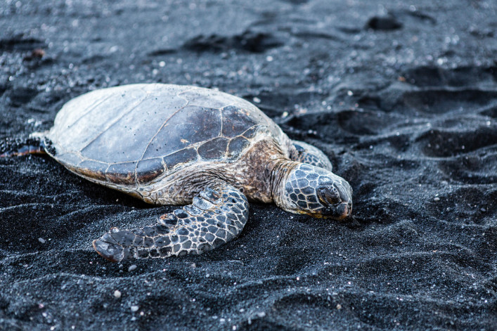 beautiful big turtle lying on black sand