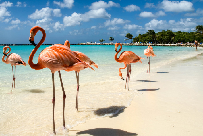 Eine Gruppe Flamingos am Aruba Flamingo Beach