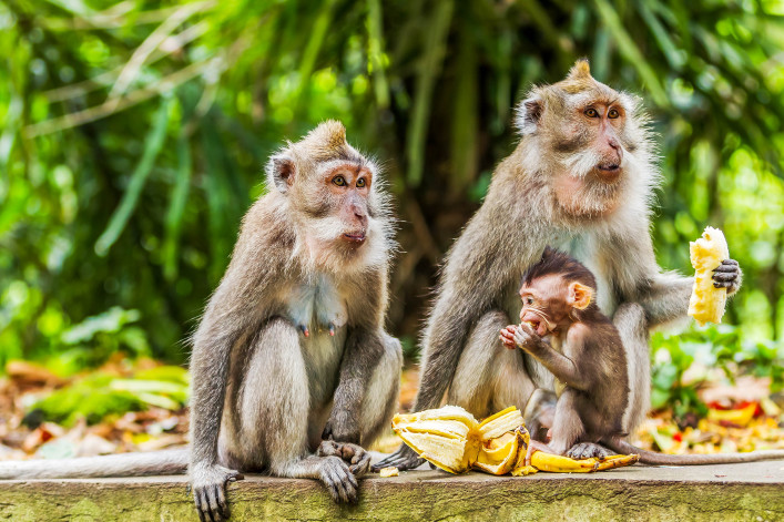 Monkeys eat bananas.  Monkey forest in Ubud, Bali, Indonesia.