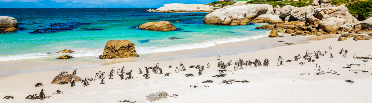 """""""African Penguin Colony at Beach,Cape Town South Africa"""""""