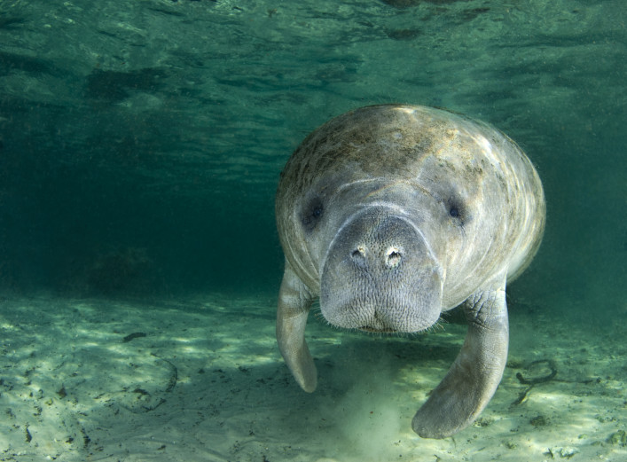 Manatee in Florida