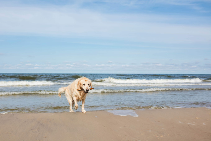 Beautiful female Golden Retriever playing in the waves of the Baltic sea at a sunny day_shutterstock_508217002_klein