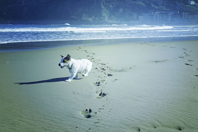 Dog running and playing with beach sand, animals_shutterstock_529067341_klein