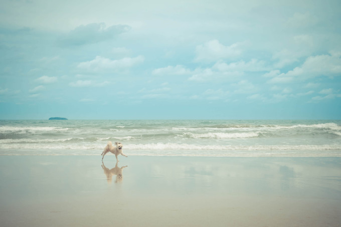 Dog so cute beige color mixed breed with Shih-Tzu, Pomeranian and Poodle travel run on beach , process in vintage style_shutterstock_526784911_klein