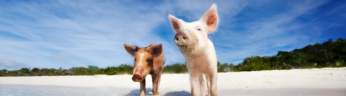 Two swimming pigs of Exuma on the beach