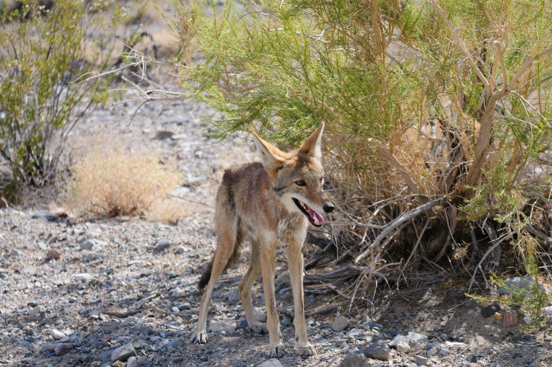 Ein Koyote im Death Valley