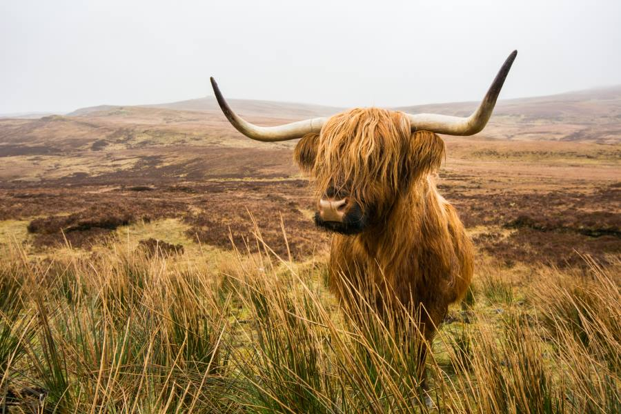 Highland Cow in den Highlands