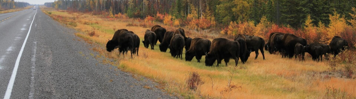 Bisons im Wood Buffalo Nationalpark in Alberta, Kanada