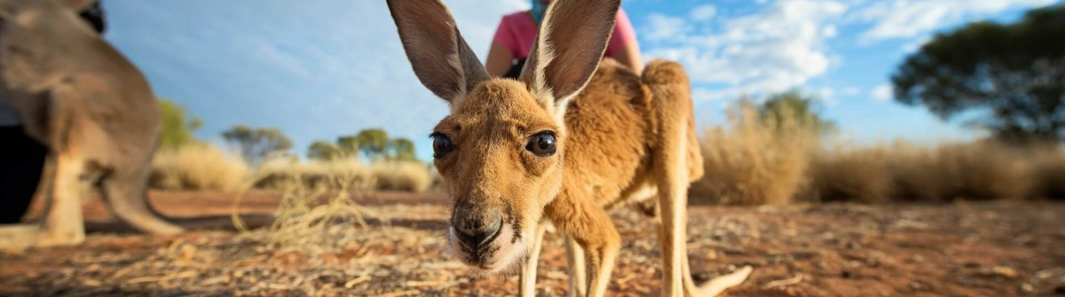 Baby Känguru und Touristen im Kangaroo Sanctuary in Alice Springs im Northern Territory.