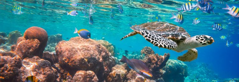 Hawksbill-Turtle-Eretmochelys-imbricata-floats-under-water.-Maldives-Indian-Ocean-coral-reef._shutterstock_248941750-Copy