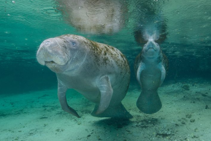 Manatees im Three Sisters Spring in Florida