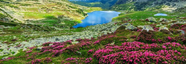 Spectacular rhododendron flowers and Bucura mountain lakes,Retezat mountains,Romania