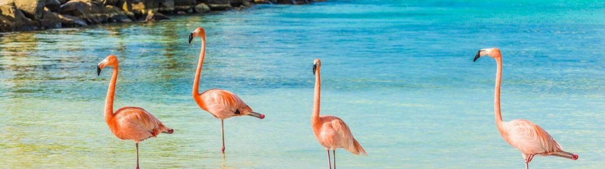 Four-flamingos-on-the-beach-Aruba-shutterstock_413176471-2