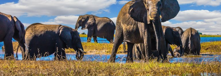 Botswana-Chobe-National-Park-elephants-large-shutterstock_485951812