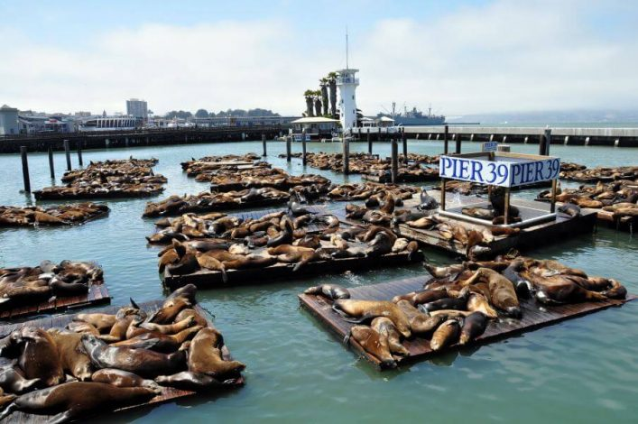Seehunde am Pier 39 in San Francisco