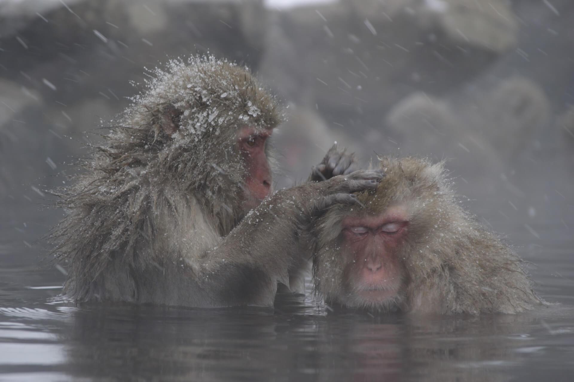 Japanische Makake Affen im Onsen