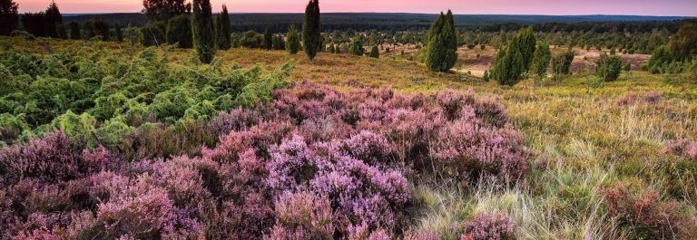 UG_Pink-heather-flowers-on-hills-at-sunset-iStock-612722882-2-1