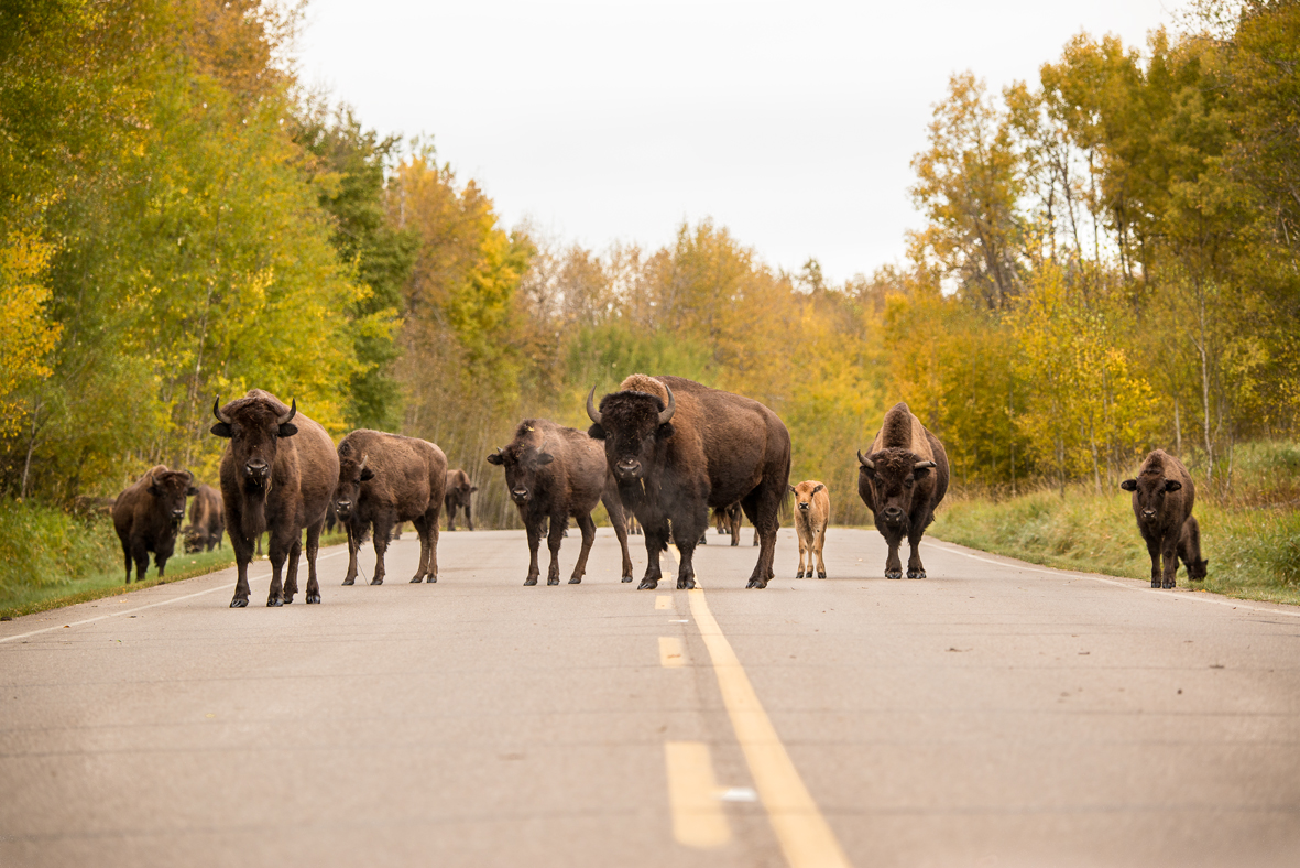 Bisons in Alberta